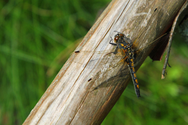 Libelle am Earthcache