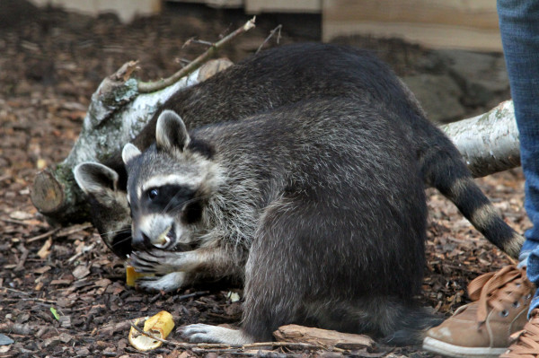 Waschbären im Zoo